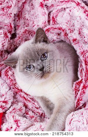 British white cat. British cat (color blue-point). British white cat with blue eyes