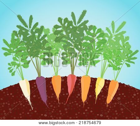 Rainbow Carrots Illustration. Growing vegetables in the soil. A garden bed of carrot. Classic orange, purple, dark red, white, and bright yellow varieties.