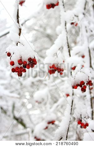 Drops on the red berries. Rowan berries on a branch. Rowan in the cold. Frozen berries. Red berries in the snow. The snow on the berries. Berries in winter. Rowan tree covered with snow