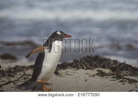 Gentoo Penguin Pygoscelis papua coming ashore at The Neck on Saunders Island in the Falkland Islands.