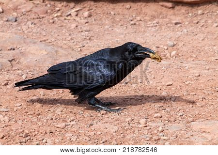 A close up of an American Crow in the desert