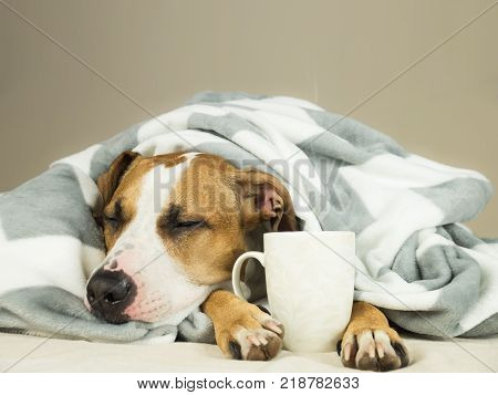 Sleeping young pitbull dog in bed covered in throw blanket with steaming cup of hot tea or coffee. Lazy staffordshire terrier puppy wrapped in plaid snoozes in comfortable bed and relaxes