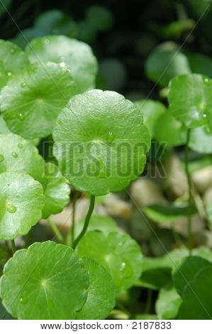 Nasturtium (Tropaeolum Majus)