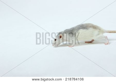 Rat on the floor. Cute Little Rat on The Floor. Zoophobia, Pets, Rodents Concept.Rat Scare. Little Rat on White Background.