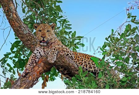 Alert looking male african leopard (panthera pardus) relaxing in a tree looking directly ahead south luangwa national aprk zambia