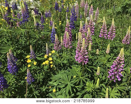 lupines and buttercups blooming in Newfoundland meadow