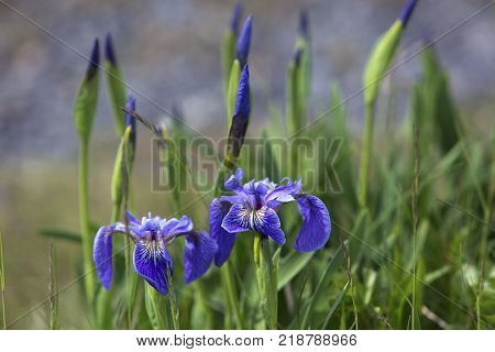 purple irises and buds blooming in Newfoundland summer
