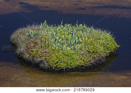 wild irises and moss on tiny island in Newfoundland pond