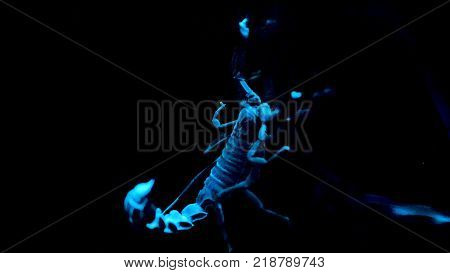 White and blue scorpio on black background. Bioluminescent scorpion under ultraviolet light at a zoo. Scorpion under ultraviolet light