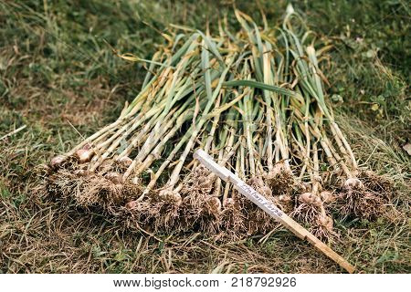 Freshly Picked Garlic Pile With Roots