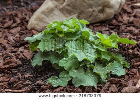 alchemilla mollis plant growing in garden on mulched soil