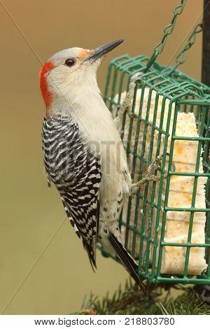 Female Red-bellied Woodpecker (Melanerpes carolinus) on a suet feeder