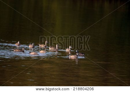 Flock Of Blue Winged Teal Ducks Anas Discors