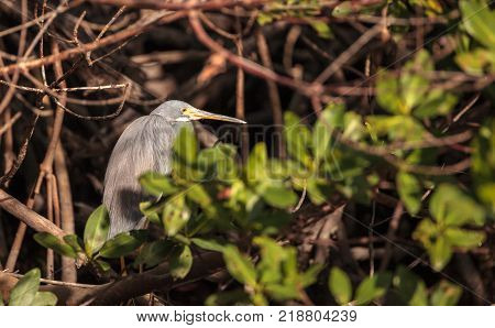 Tricolored heron bird Egretta tricolor hides in a bush in the Ding Darling National Refuge on Sanibel Island Florida