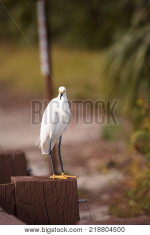 Snowy Egret Egretta Thula Perches On A Post