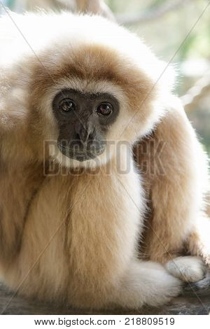Adult male lar gibbon ape, Hylobates lar, is sitting with his legs pulled up and his head rested on his knees, in a pensive or sad pose. A monkey has black snout and brown hair.