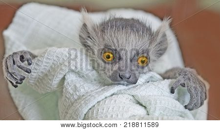 A frightening monster with big expressive orange eyes and crooked fingers is looking straight ahead. A baby ring-tailed lemur swaddled in a linen.