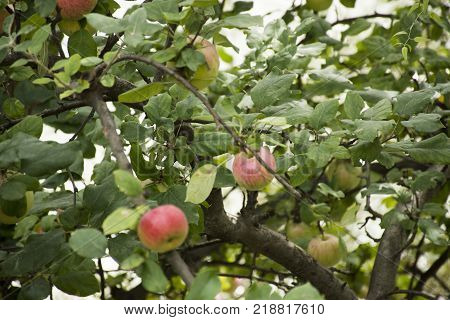 Apple Tree At Riverside Of Passer River