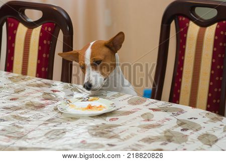 Young basenji dog wonders why master put on the canine table this strange human food - sauerkraut