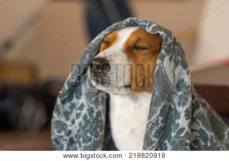 Indoor portrait of royal basenji dog meditating under coverlet