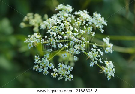 Plant cicuta hemlock is poisonous with white flowers. Umbrella. Close - up