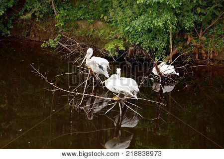 Three white pelicans sit on a dry tree, reflected in a pond, dark water. Green thickets, gullies. Summer day