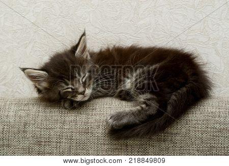 small sleeping kitten  isolated on white background