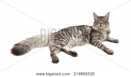 young cat maine coon lies on white background