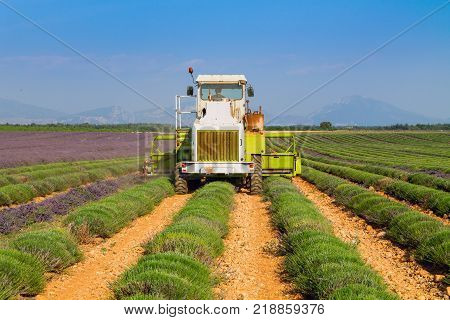 Lavender field harvesting near Valensole in Provence France Europe