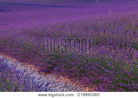 Beautiful colors purple lavender fields near Valensole Provence in FranceEurope