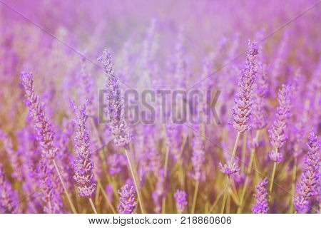 Beautiful colors purple lavender fields near Valensole Provence in France Europe