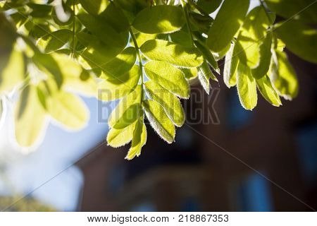 Spring blurred background with selective focus. Residential house and close-up sun-drenched green leaves of mountain ash in the foreground. poster