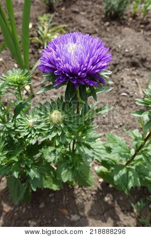 Callistephus chinensis with single violet flower head