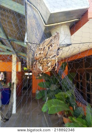 Bird trapped in net before ringingImage of bird(dove) is attached to the net
