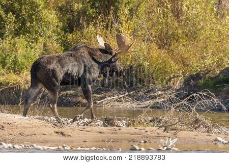 a bull shiras moose crossing a river during the fall rut
