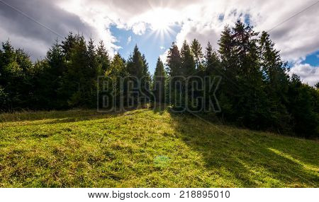 spruce forest on a grassy slope. beautiful nature scenery with bright sun on a cloudy day