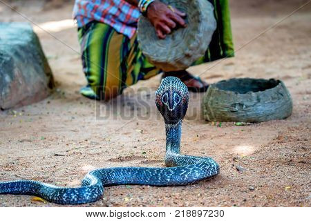 Snake enchanter or fakir plays pipe to enchant cobra