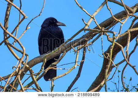 Carrion crow or Corvus corone perches on branch of a tree