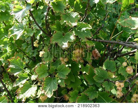 Ripe berries of white currant on a branch in the garden. White currant currant or garden currant