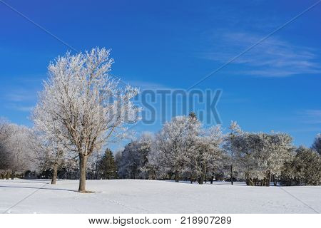 Snow covered trees in a North American parkland.
