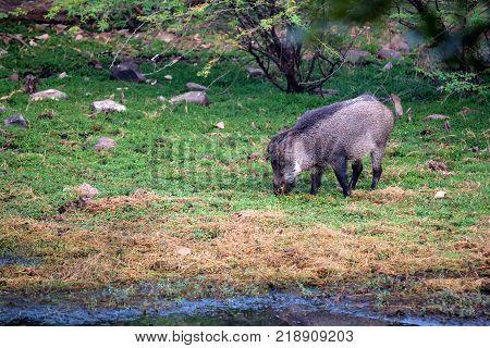 Indian boar or Sus scrofa cristatus in Ranthambore national park, India