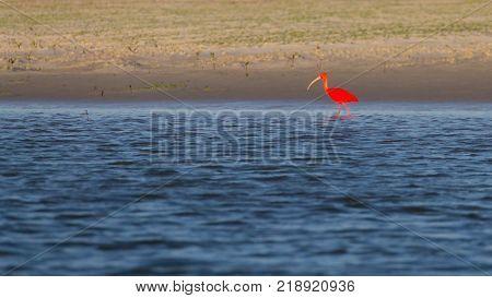 Scarlet ibis from Lencois Maranhenses National Park Brazil. Rainwater lagoon. Brazilian wildlife. Eudocimus ruber