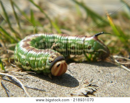 The caterpillar of Sphinx pinastricrawling on the track