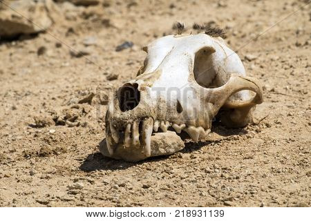 The skull of a dog with a bundle of wool on the vertex lies on the ground and gnaws at the stone