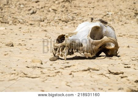 The skull of a dog with a bundle of wool on the vertex lies on the ground