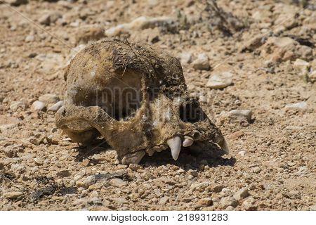 The skull of a strange animal in the desert poster