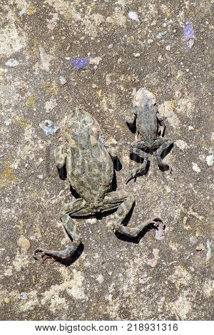 Two dead Common toads lie on the old concrete surface (Bufo bufo)