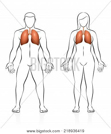 Lungs - comparison of lung volume - male and female body - isolated vector illustration on white background.