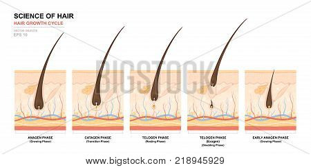 Anatomical training poster. Hair growth phase step by step. Stages of the hair growth cycle. Anagen telogen catagen. Skin anatomy. Cross section of the skin layers. Medical vector illustration