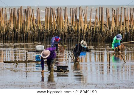 thai fishery villager in samuthsakorn seeking coastal oyster in mud flat of mangrove forest in samuth sakorn central of thailand